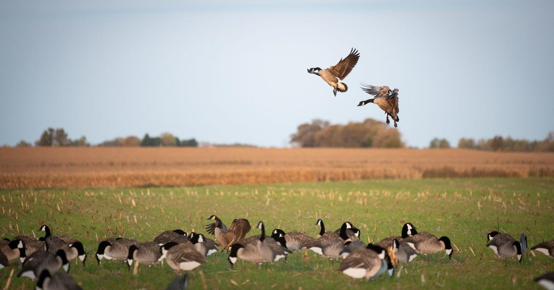 Geese landing in silhouette decoys