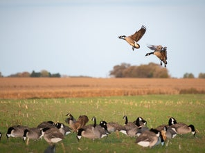 Silhouette Goose Decoys Are All the Rage. Here's Why and How to Use them