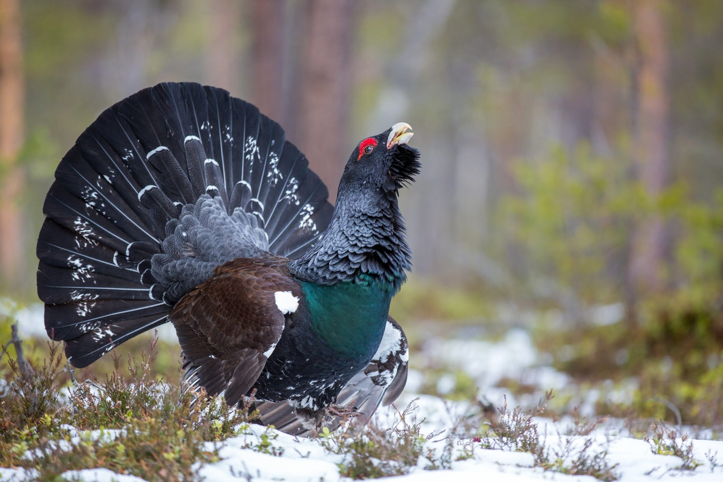 The capercaillie upland bird strutting and calling in the snow.