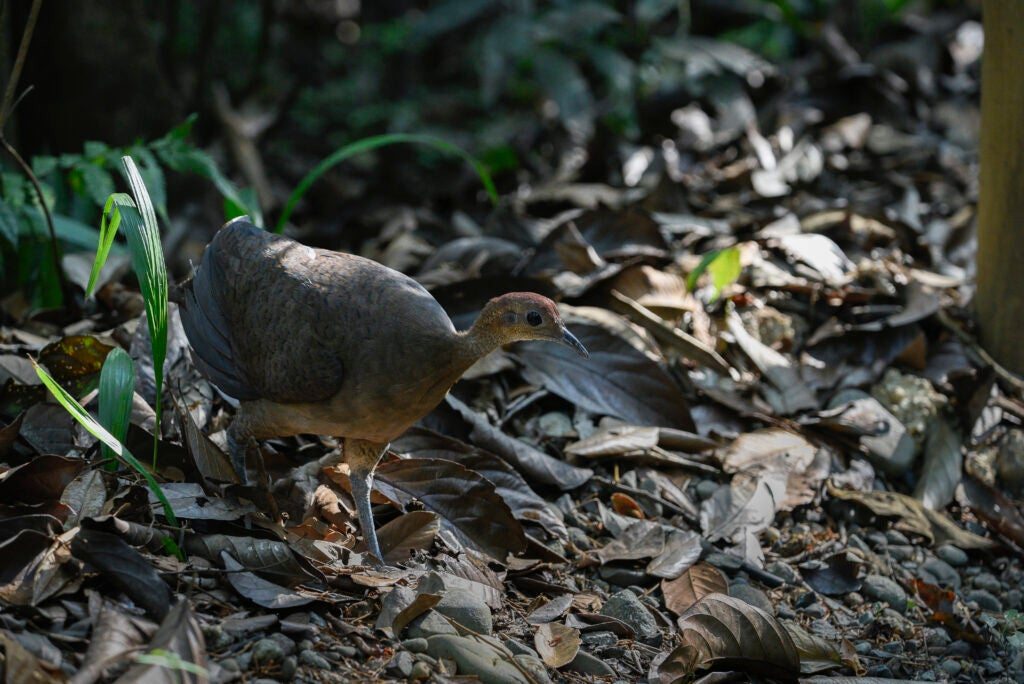 The thicket tinamou on the forest floor.