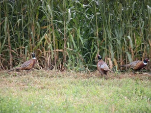 Looking to Boost Participation, Maryland Holds Stocked Pheasant Hunt Lottery