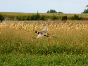 South Dakota Retools to Boost Pheasant and Hunter Participation Numbers