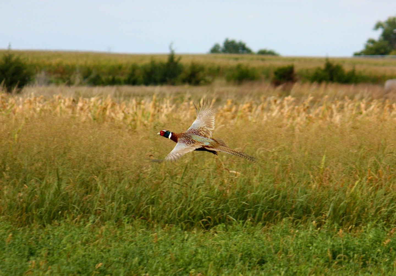 pheasant flies in grassy field