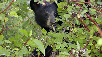 NJ Governor Squashes Emergency Bear Hunt