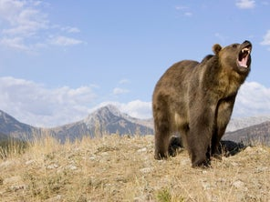 Wyoming Asks Federal Government to Delist Grizzlies from Endangered Species Act