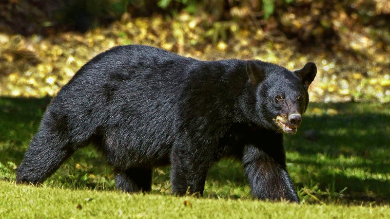 Black Bear with a Broken Jaw Traps Colorado Family Inside House for 45 Minutes
