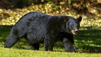 black bear walks across lawn