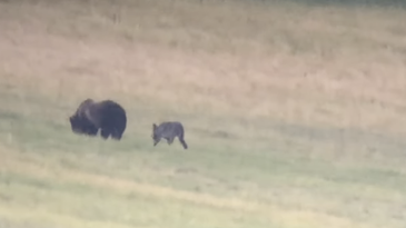 a wolf follows a big grizzly bear in a grassy area