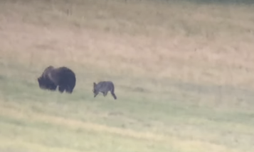 Video: Yellowstone Wolf Bites Grizzly—Again. But Why?