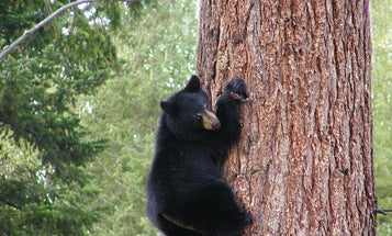 Nevada Bear Season Opens Despite Calls for Cancellation Due to Wildfires