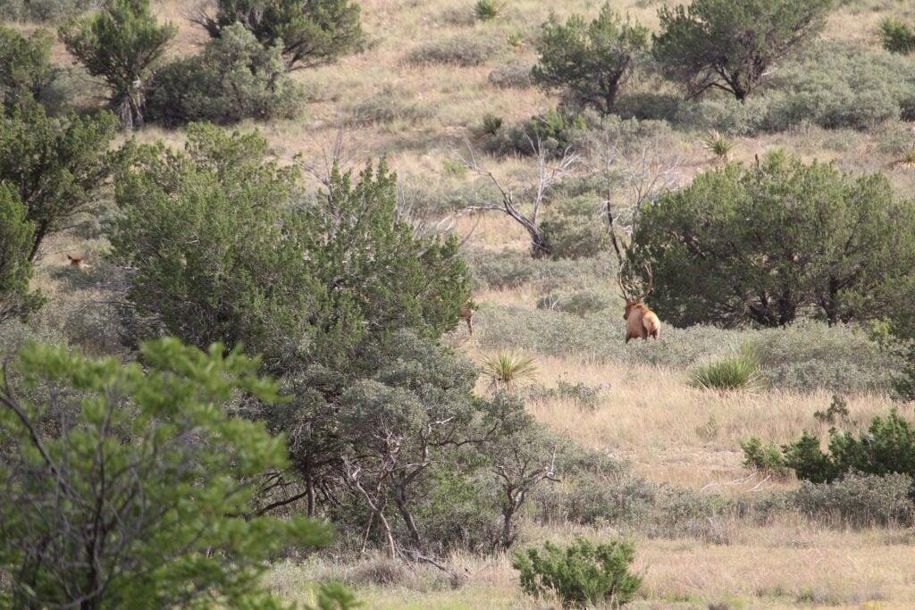 Elk walking in the desert next to juniper trees.