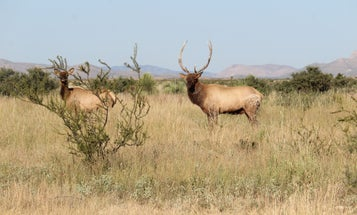 To Bag a Bull Elk, You Have to Find it First. Here's How
