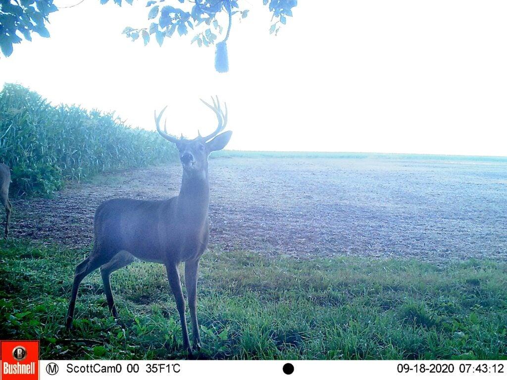 Whitetail buck at scrape
