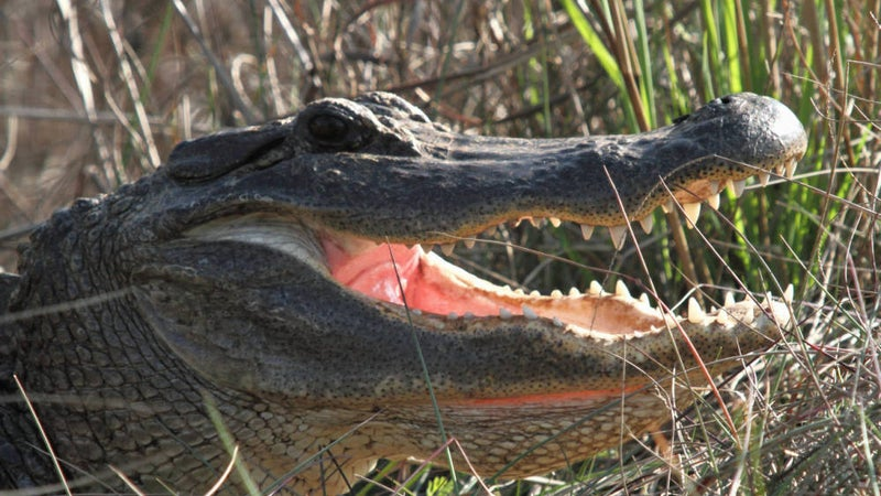74-Year-Old Florida Woman Bitten After Jumping on Alligator to Save Her Dog