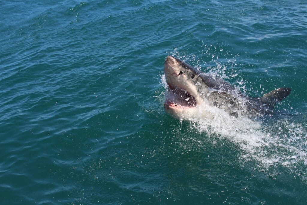 great white shark breaks the surface of the ocean