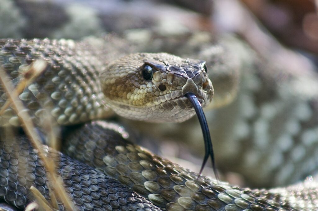 a rattlesnake coiled and ready to strike