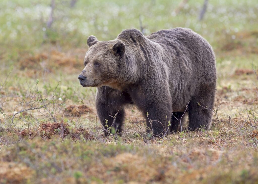 large grizzly bear stands in field