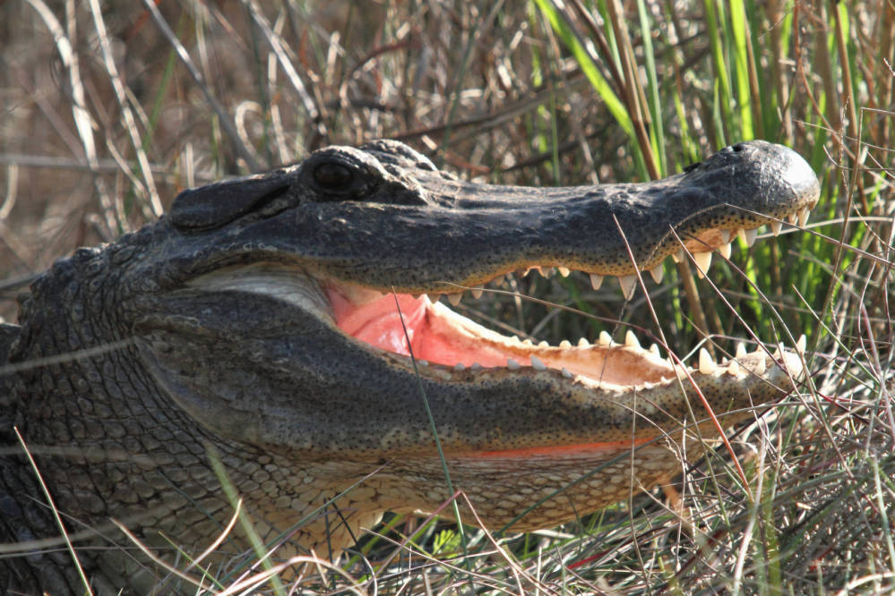 Alligator with mouth open