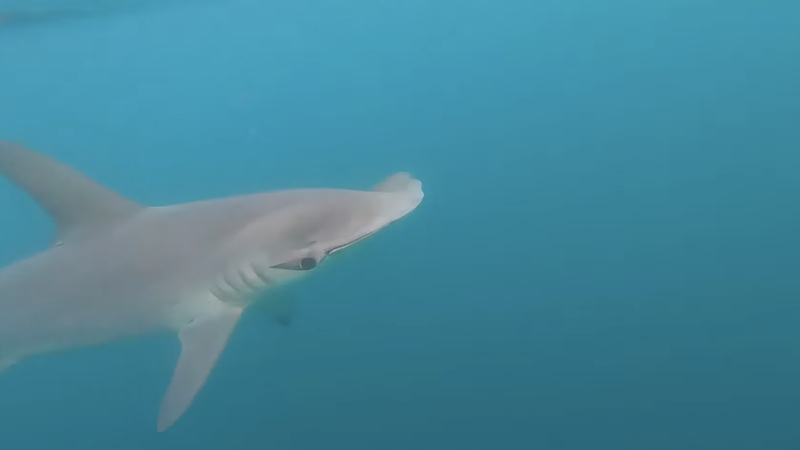 Video: 10-Foot Hammerhead Shark Circles Kayak Anglers