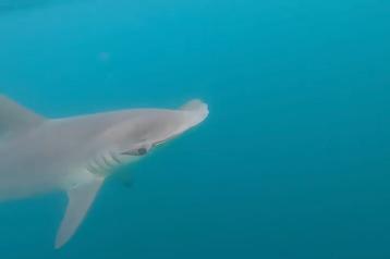 hammerhead shark swims toward camera