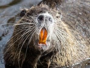 Beaver Attacks and Nearly Kills Massachusetts Man