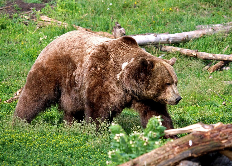 big grizzly bear walks through field
