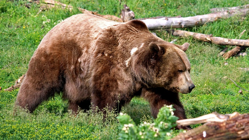 Two Harrowing Grizzly Bear Attacks Take Place in Alberta, One On a Grouse Hunter