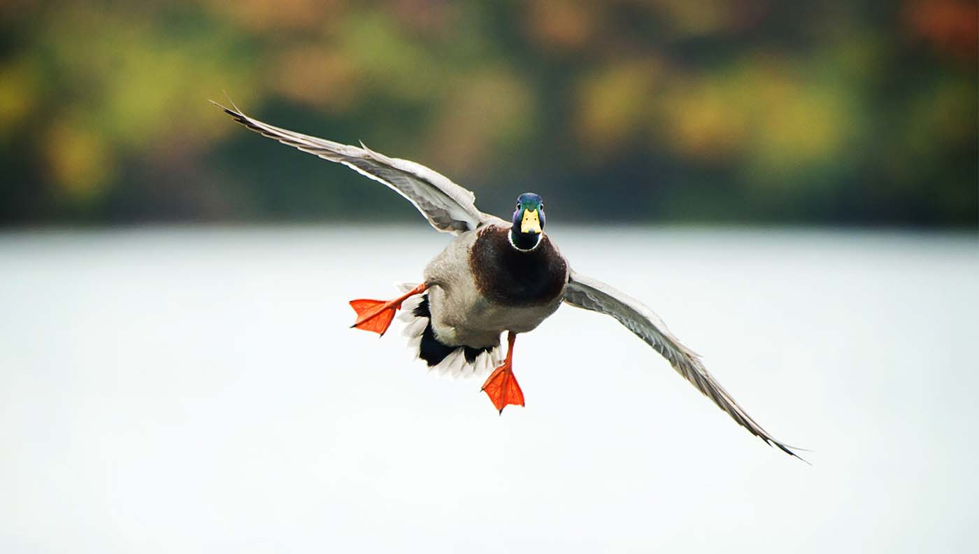 Mallard duck landing on water