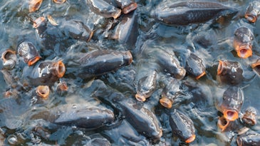 carp at surface of the water