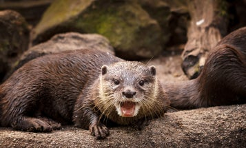 Aggressive River Otters Attack People and Pets in Alaska