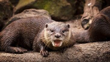 otter growls at camera