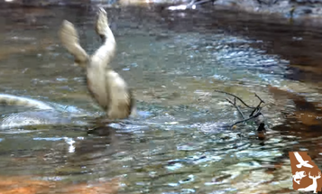 Video: Two Male Cottonmouth Snakes Face Off in Battle for Dominance