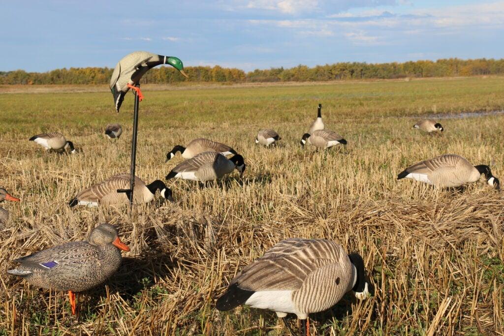 Mojo decoy in a duck hunt