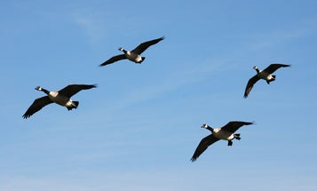 Fowl Play: How to Knock Down High Overhead Honkers