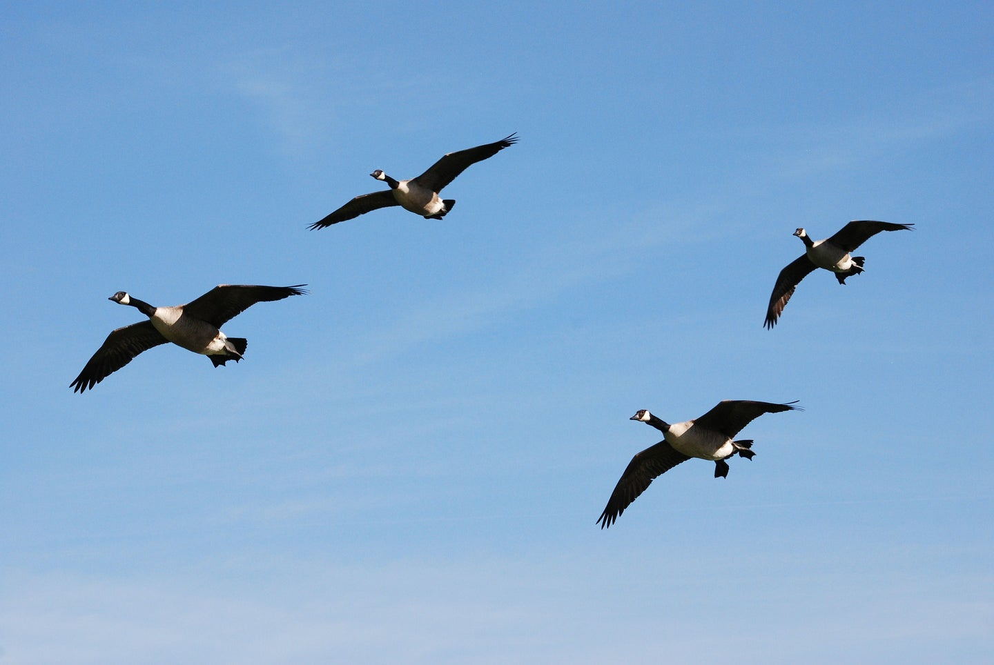 High flying Canada geese