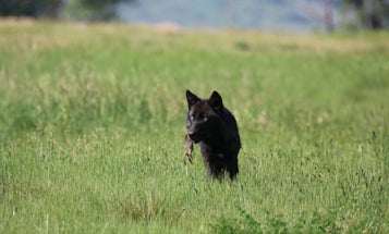Wisconsin DNR Defies Advisory Board, Scales Wolf Hunt Quota Back to 130