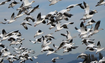 Fowl Play: Shoot More Snow Geese Over the Decoys