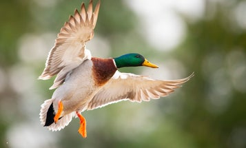 """Fowl Play: How to Hit the """"Gimme"""" Mallard Every Time"""