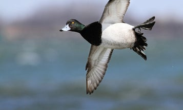 Fowl Play: Stop Decoy-Buzzing Bluebills from a Layout Boat