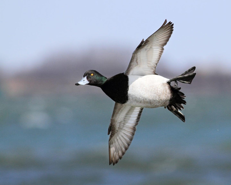 Bluebill duck banks on the water