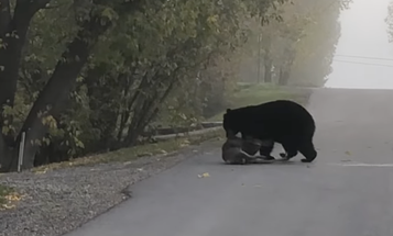 Video: Black Bear Kills and Eats a Deer Right in Front of Family