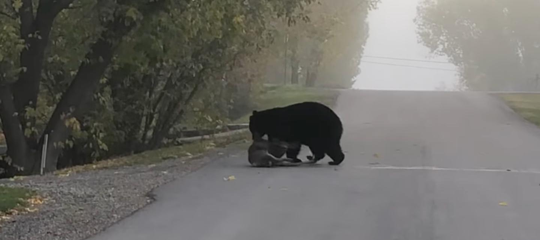 bear drags deer carcass across road