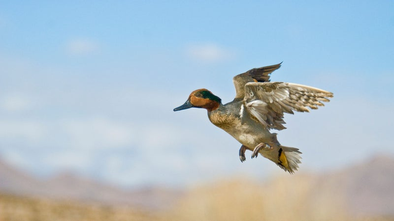 Fowl Play: How to Pick (and Shoot) Your Teal in a Tight Flock
