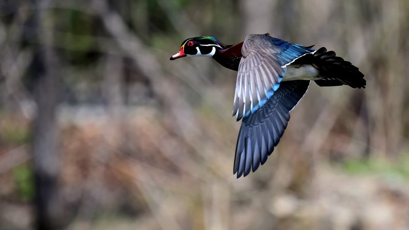 Fowl Play: Shooting Tips for the Quick, Tricky Wood Duck