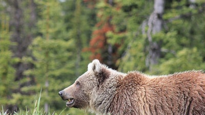 Video: Massive Grizzly Sow Charges After Truck in Montana
