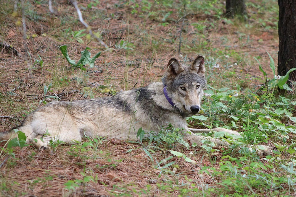 wolf with purple collar