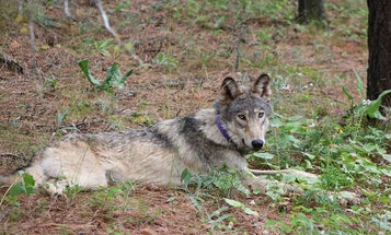 Gray Wolf Tagged in Oregon Makes Epic Journey to Southern California