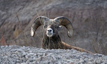 Will a New High-Speed Rail in the Mojave Harm Desert Bighorn Sheep?
