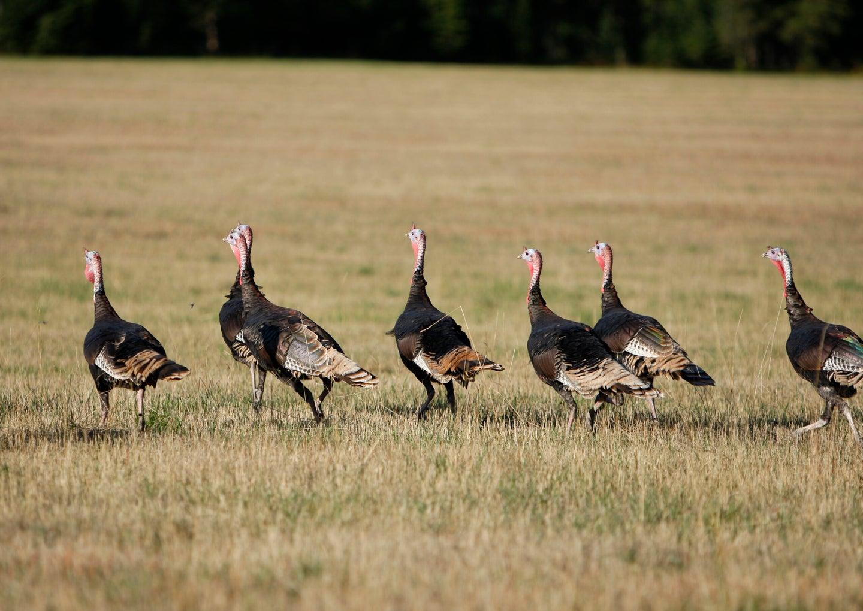 flock of fall turkeys