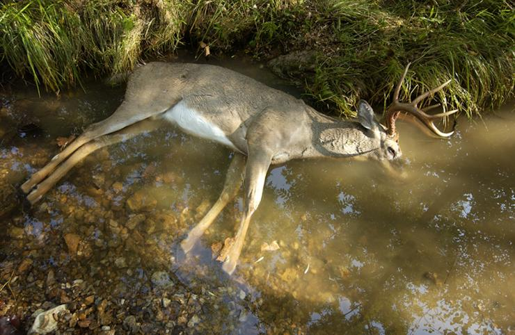 whitetail buck dead with head in water